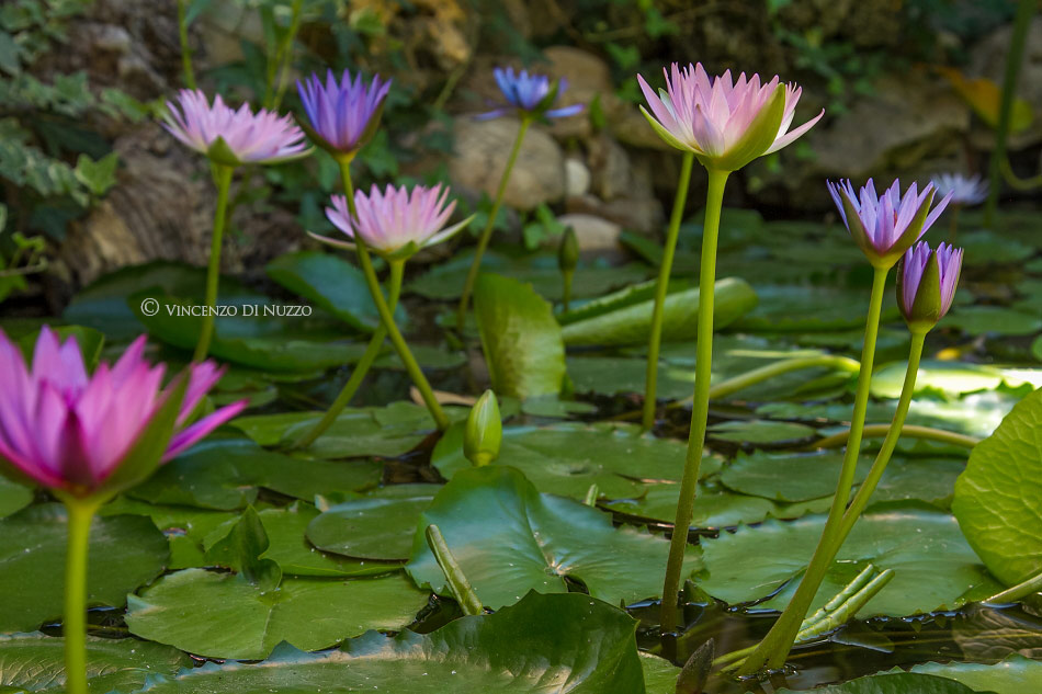 video Timelapse Water Plants Blooming