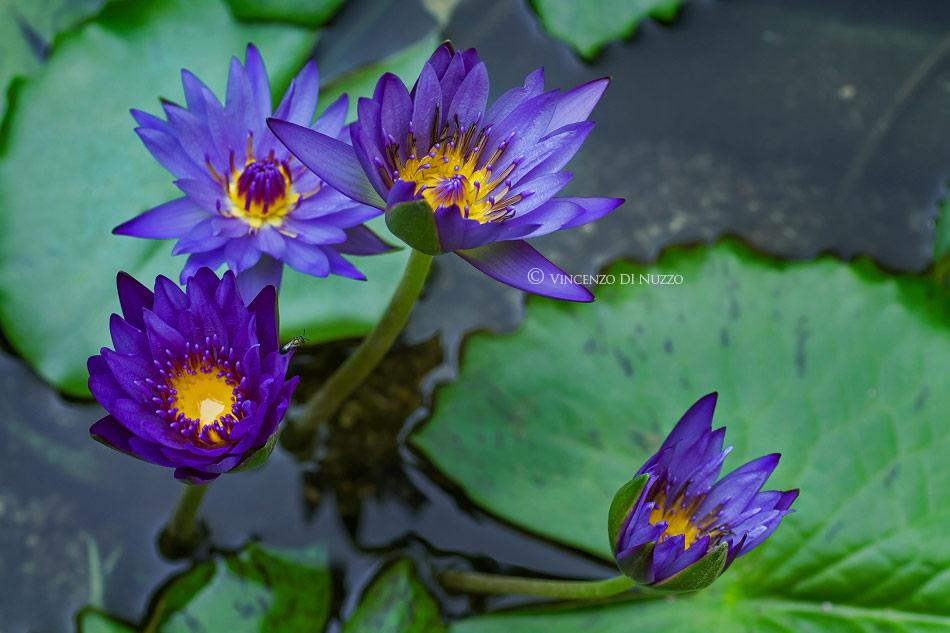 Water lilies blooming timelapse
